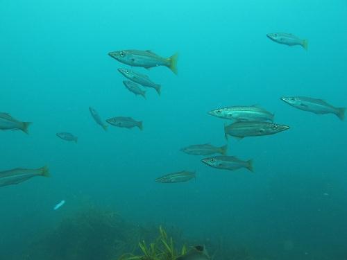 long finned pike