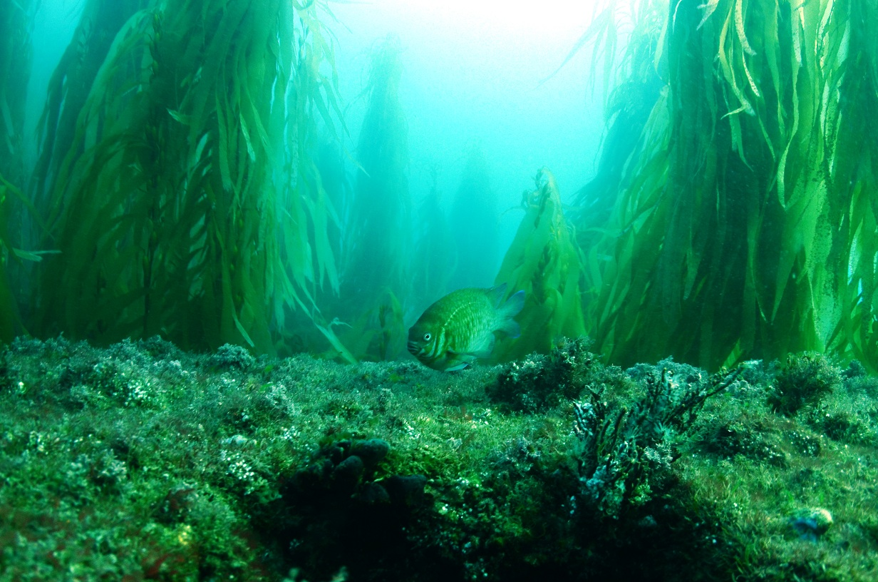 low head kelp