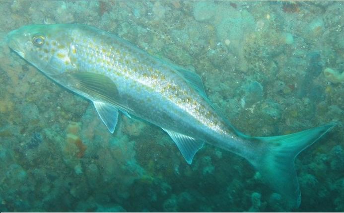 sa fish